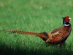 Фазан обыкновенный или кавказский фазан