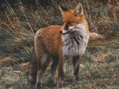 Лисица обыкновенная