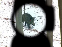 Куда и как стрелять по кабану на охоте (обновлено 11.12.2019)