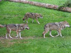 Волк (часть 2). Волчья стая и ее порядки